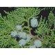 Graines de Cupressus sempervirens pyramidalis