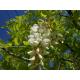 Graines de Robinia pseudoacacia