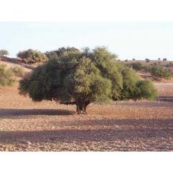 Graines de Argania spinosa