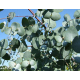 Graines de Eucalyptus gunnii