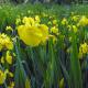 Graines de Iris pseudacorus