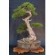 Graines de Pinus nigra austriaca