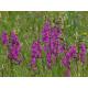 Graines de Gladiolus palustris