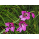 Graines de Gladiolus palustris