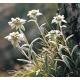 Graines de Leontopodium alpinum