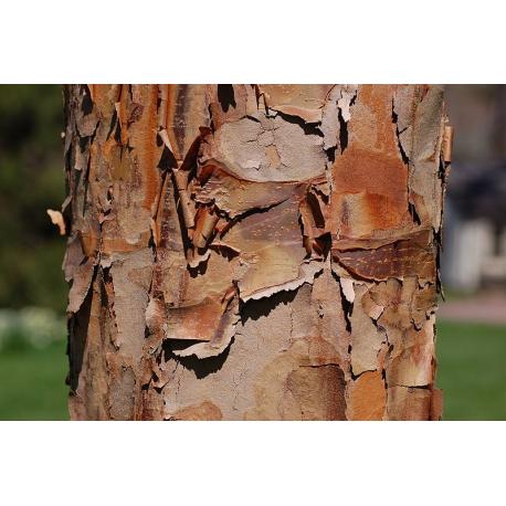 Graines de Acer griseum