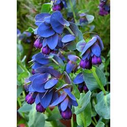 Graines de Cerinthe major purpurescens