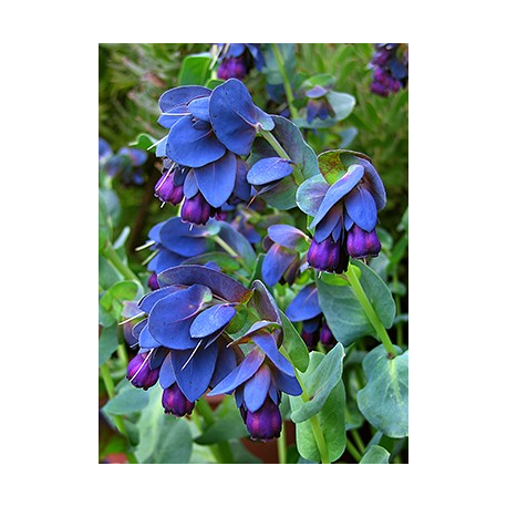 Graines de Cerinthe major purpurescens