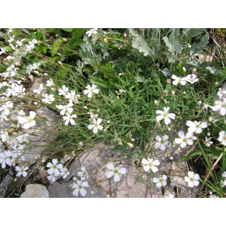 https://upload.wikimedia.org/wikipedia/commons/5/51/Gypsophila_repens.jpg