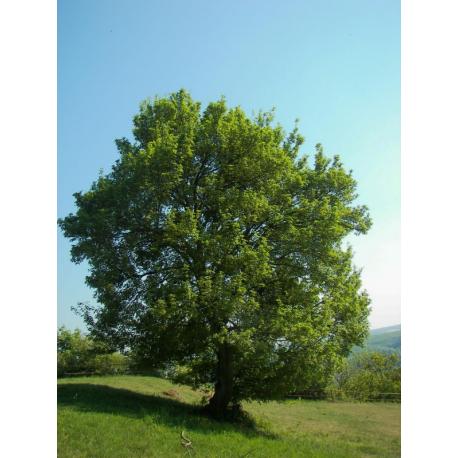 Graines de Acer campestre