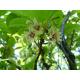 Graines de Schisandra chinensis