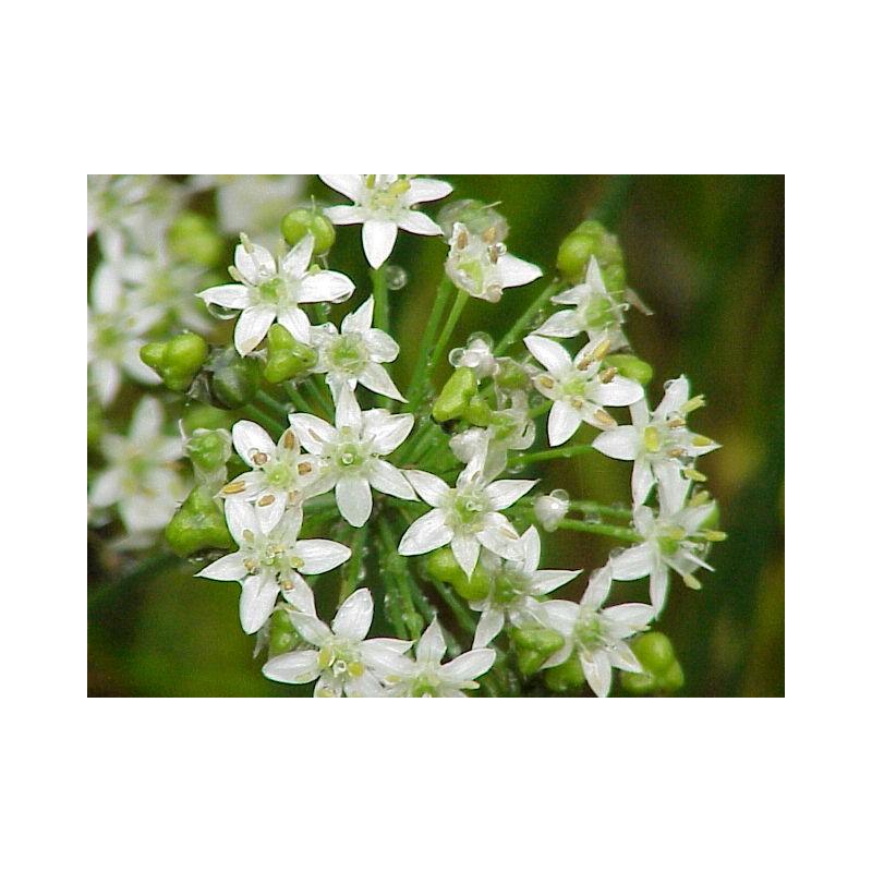 Wildflower Semences-Ramsons 200 graines