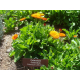 Graines de Calendula officinalis AB
