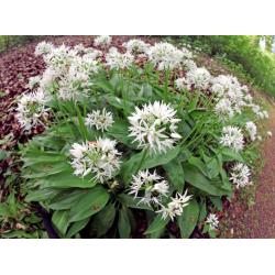 Graines de Allium ursinum AB