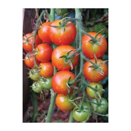 Graines de Tomate Gardener's Delight AB