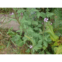 Graines de Verveine officinale AB