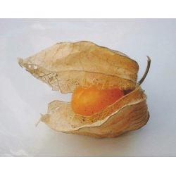 Graines de Physalis peruviana AB