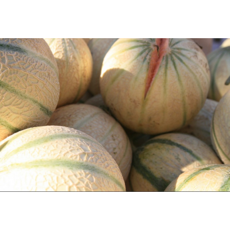 Graines de Melon charentais AB