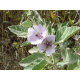 Graines de Althaea officinalis