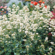 Graines de Valeriane Ruber blanc pur