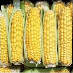Graines de Maïs Damaun AB
