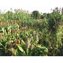 Graines de Sorgho Sudal
