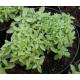 Graines de Basilic fin vert Pistou