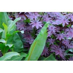Graines de Ricinus Purple violet