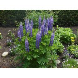 Graines de Lupin arborescent Bleu