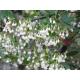 Graines de Vaccinium arboreum