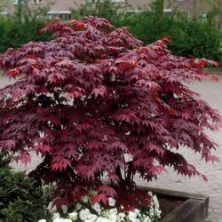 Graines de Acer palmatum dissectum 'Bloodgood'