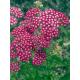 Graines de Achillea millefolium Cassis
