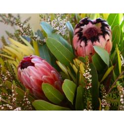 Graines de Protea neriifolia