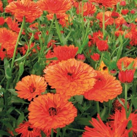 Graines de Calendula Touch of Red Orange