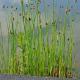 Graines de Scirpus lacustris
