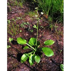 Graines de Alisma plantago aquatica