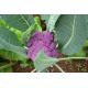 Graines de Brocoli violet du Cap