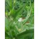 Graines de Stevia rebaudiana AB
