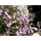 Graines de Gypsophile Repens rose