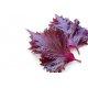 Graines de Perilla à feuilles pourpres