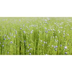 Graines de Lin bleu