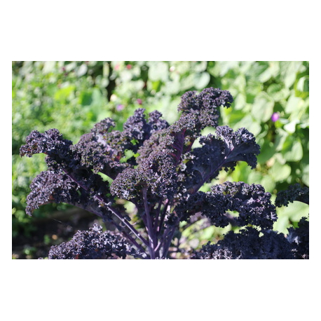 Graines de Chou Kale Red Russian