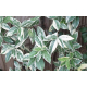 Graines de Trachelospermum jasminoides Variegata