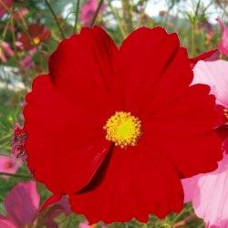 Graines de Cosmos bipinnata Versailles Rouge carmin