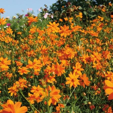 Graines de Cosmos sulphureus Carioca orange