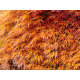 Graines de Acer Palmatum Dissectum