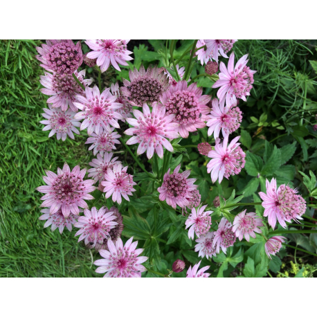Graines de Astrantia major Rose Symphony