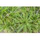 Graines de Plantago coronopus