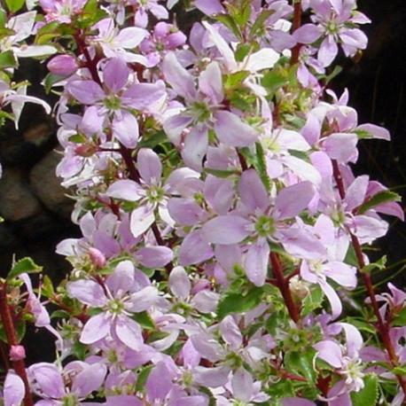 Graines de Agathosma betulina