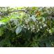 Graines de Holboellia latifolia